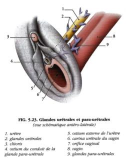 Cystite interstitielle – Ostéopathe à Paris